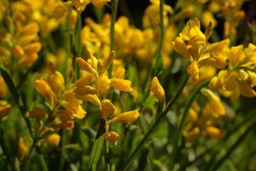 Genêt herbacé (Chamaespartium sagittale)