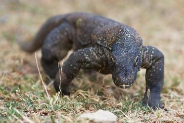 Komodo Dragon, the large lizard