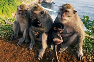 Monkeys on the cliff at Uluwatu Temple, Bali, Indonesia