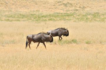 Two blue Wildebeest walking