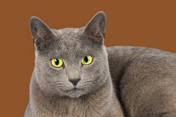 Katzen-Russisch-Blau-24877si