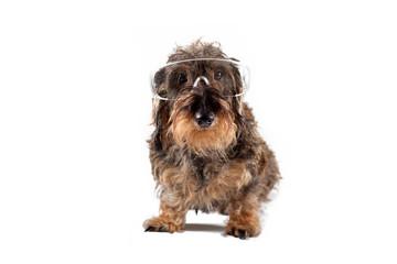 Cane bassotto con occhiali