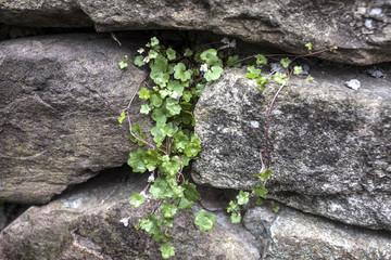 muro de piedra con plantas trepadoras
