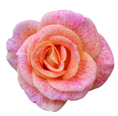 pink rose macro isolated on white