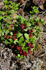 Bush of a ripe cowberry in forest