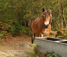 Portrait of a wild Exmoor Pony