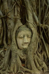 Remains of Buddha statues The head in tree Wat Mahathat.