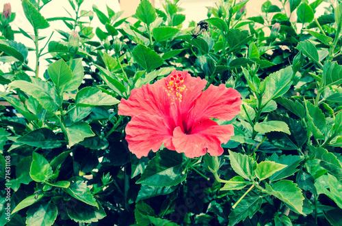 canvas print picture Hibiscus rosa-sinensis