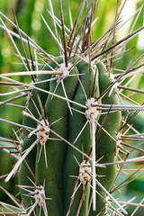 Kaktusdornen - Makro