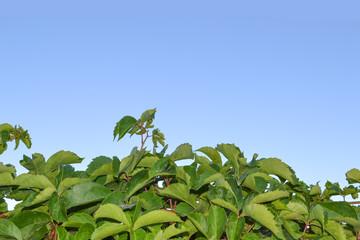 Hintergrund mit Blätter und Himmel