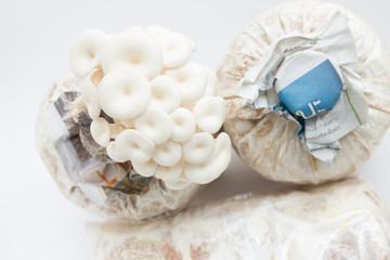 Closeup fresh Phoenix mushroom or Indian Oyster in a mushroom