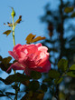 canvas print picture - Rose