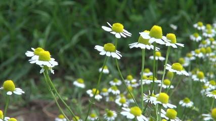 fresh chamomile medical herbs blossoms in summer garden