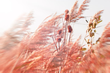Thistle field in dry reeds - bulrush