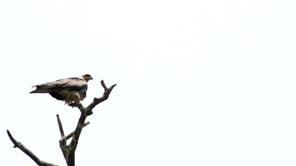 Brown Eagle on tree branch - fly away