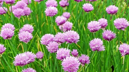 Nice flowers of natural green onion