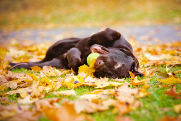 happy puppy rolling in fallen leaves