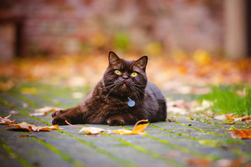 brown british shorthair cat lying down outdoors in fallen leaves