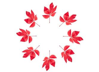 Wilder Wein, rote Herbstblätter, Parthenocissus quinquefolia