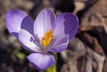 Purple crocus flower in gardenin spring