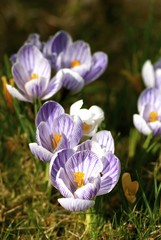 Purple crocus growing in the grass in spring.