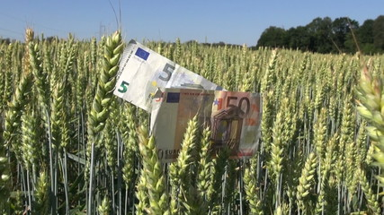 agriculture business concept – euro banknotes with  wheat ears