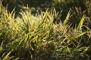 autumn dew on the green grass