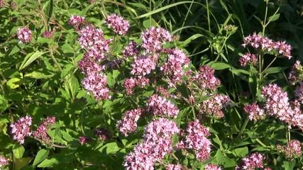 oregano wild marjoram medical flowers herbs in wind