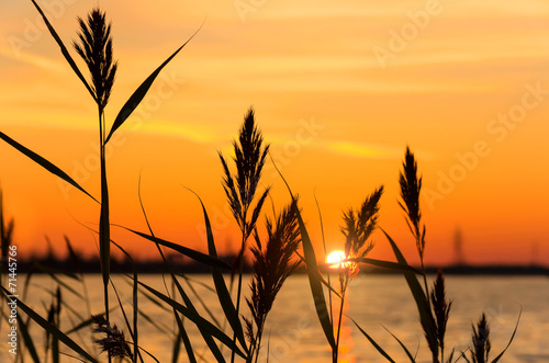 Reed early in the morning on the river bank - 71445766