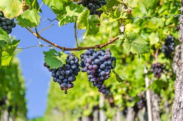 Weintrauben Weinreben