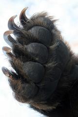 Forepaw Kamchatka bear, leg with claws