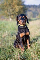 Polish Scenthood Dog