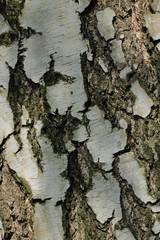 Detail of birch bark
