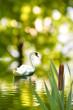 Leinwanddruck Bild - image of a beautiful swan in the water park