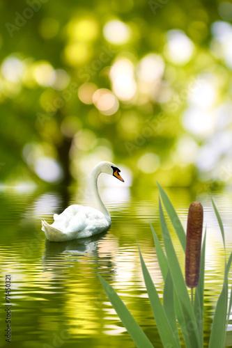 Leinwanddruck Bild image of a beautiful swan in the water park