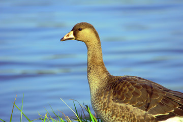 Wild goose on the lake, Poland.