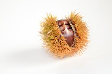Offener Fruchtstand Maroni Esskastanie