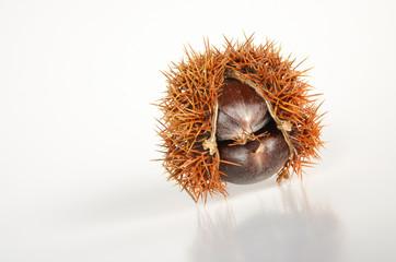 Esskastanienfruchtstand reif