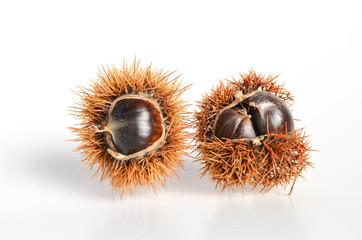 Maroni Esskastanien in Fruchtstandhülle reif