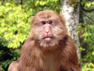 Portrait of wild Tibetan macaque (Macaca thibetana) in Emei Moun