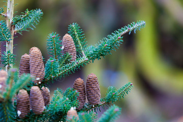 Nature. Closeup of coniferous tree. Branches with cones.