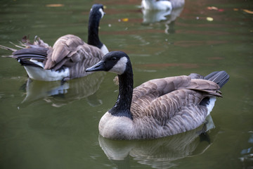 Branta bernicla goose