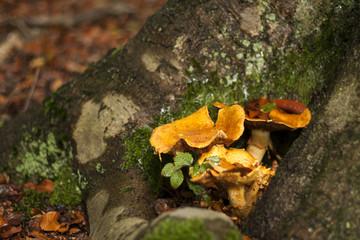 golden Chanterelle mushroom growing in an autumn forest