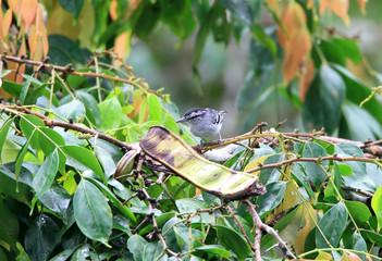 Dugand's Antwren (Herpsilochmus dugandi) in Napo, Ecuador