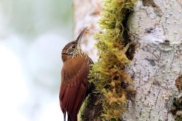 Montane Woodcreeper (Lepidocolaptes lacrymiger) in Ecuador