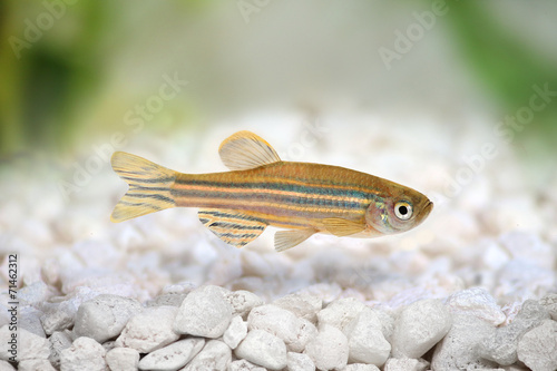Foto op Canvas Zebra Zebrafish Zebra Barb Danio rerio freshwater aquarium fish