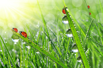 fresh grass with morning dew and ladybirds
