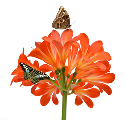 Orange Clivia miniata with butterflies isolated on white