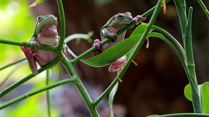 Australian Green Tree Frogs