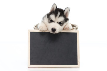 Cute siberian husky puppy holding chalk board  isolated